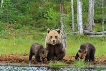 orso bruno della finlandia con piccoli