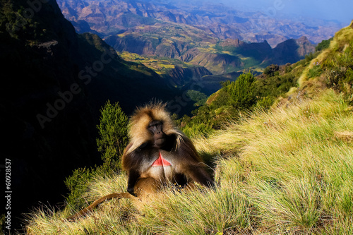 Foto op Aluminium Aap Gelada baboon sitting on top of the cliff in Simiens