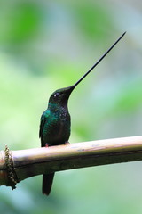 Sword-Billed Hummingbird  Ensifera ensifera  in Guango, Ecuador,
