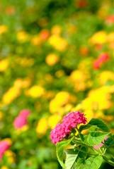 ランタナの花畑