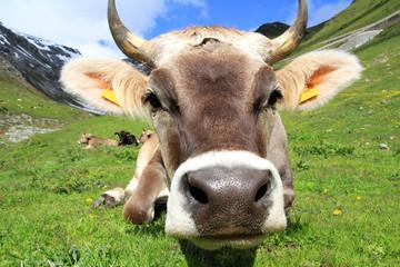 Eine Kuh im Gebirge