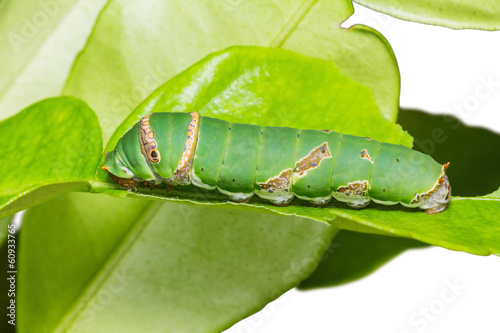 Lime butterfly caterpillar