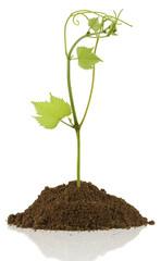 jeune pousse de vigne sur motte de terre