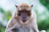 Portrait of Monkey - macaca fascicularis