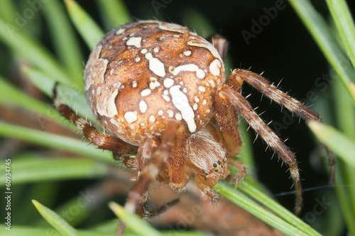 Cross orb weaver, Diadematus araneus, macro photo
