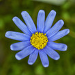 Blue daisy flower closeup