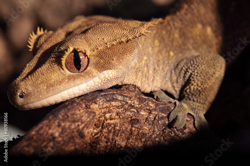 Closeup of Caledonian crested gecko