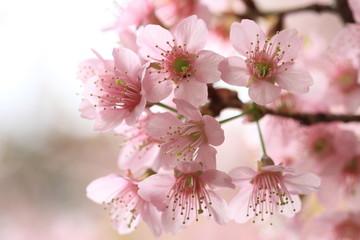 close up detail  pink sakura