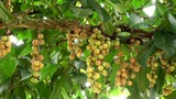 Longan fruits on the tree.