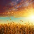 red sunset over golden harvest