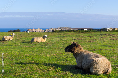 Aluminium Schapen Moutons de Ouessant