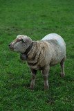 Swiss sheep with bell