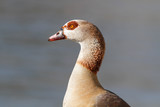 Egyptian goose portrait