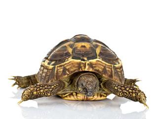 Żółw grecki na białym tle