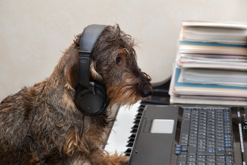 Cane bassotto al piano