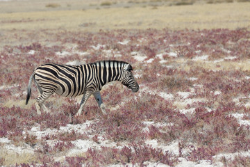 Zebra in the savannah