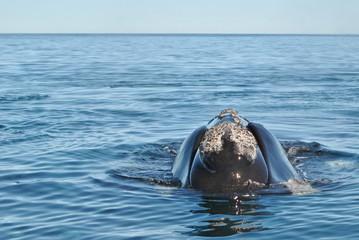 La testa della balena