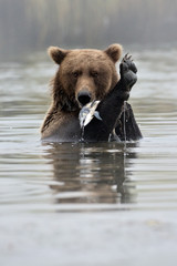 Grizzly Bear with fish in water.