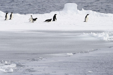 Adelie penguins on pack ice.