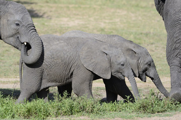 Two juvenile elephants following in the herd.