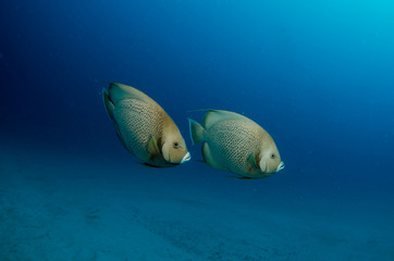 caribbean angelfish