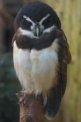 Spectacled Owl - Pulsatrix perspicillata