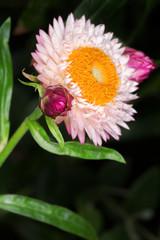 Pink English daisy (Bellis perennis)