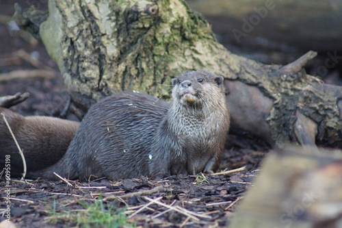 Asian Short-clawed Otter - Aonyx cinerea