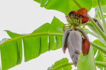 Red banana blossom
