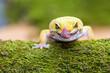 Leinwanddruck Bild - leopard gecko pokes tongue, to moisten your eyes