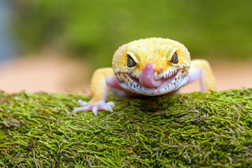 leopard gecko pokes tongue, to moisten your eyes