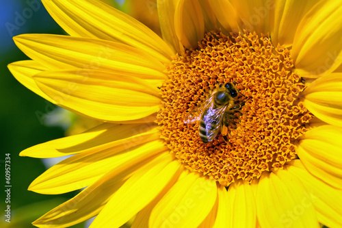 Bee collecting pollen from a sunflower blossom