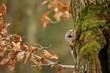 Tawny Owl hiddne behind tree trunk