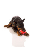great doberman with a favorite toy on a white background