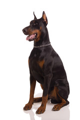 great doberman dog posing