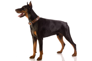 doberman pinscher sitting on white background