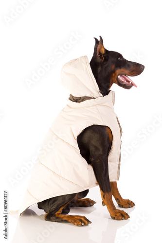 great doberman dog ready for winter
