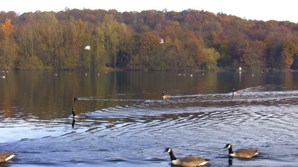 Autumn. Birds flying and swimming in the lake