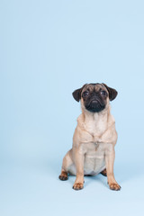 Puppy pug on blue background
