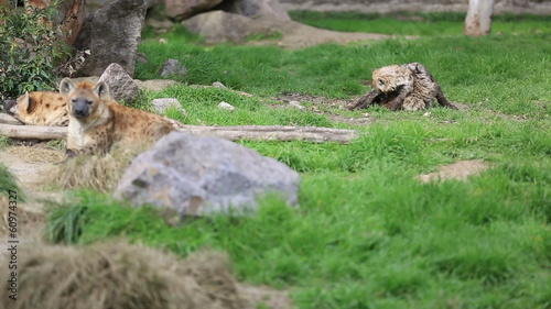 hyena family resting and young hyena playing in nature