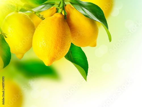 Fotobehang Vruchten Lemon. Ripe Lemons Hanging on a Lemon tree. Growing Lemon