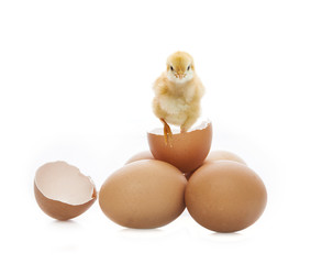 new born yellow chick broken eggshell looking to camera isolated