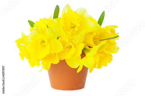 Yellow Narcissus / Daffodils / in Flower Pot