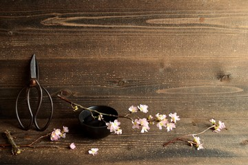 Cherry blossom with scissors on wooden background