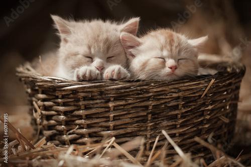 Papiers peints Bestsellers Two kittens sleeping in a basket on hay in the barn