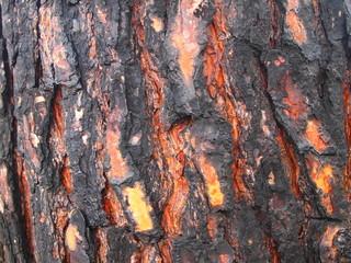 Vecchia corteccia di pino