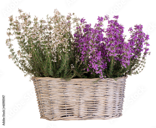 Heather in basket isolated on white