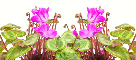 Cyclamen. Collage