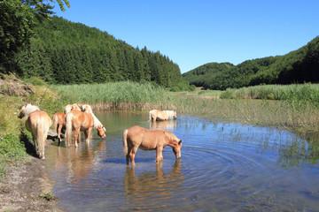 cavalli al pascolo al cimone appennino emiliano