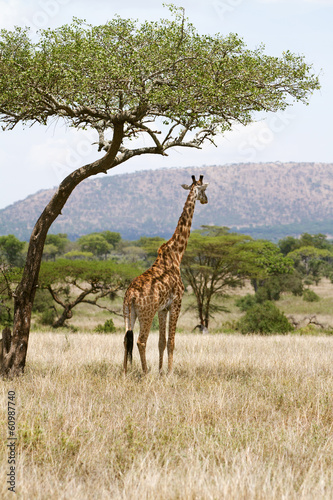 Giraffe under a tree in Africa